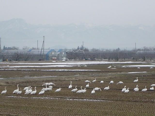 Swan (75k image)
